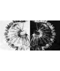 Obraz czarno biały Dwa dmuchawce (2-częściowy)
