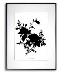Plakat czarno biały Czarna róża na białym tle